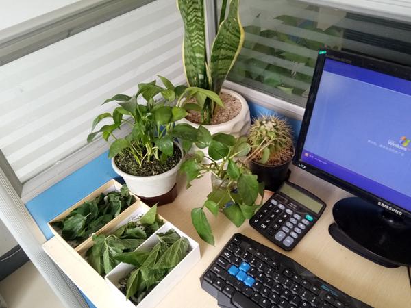 办公室养蚕